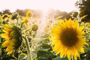Mr Ros Sunflower Lecithin Powder